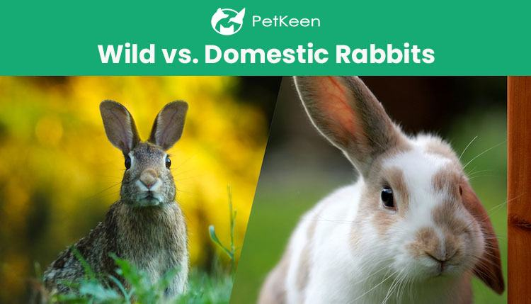 wild vs domestic rabbit