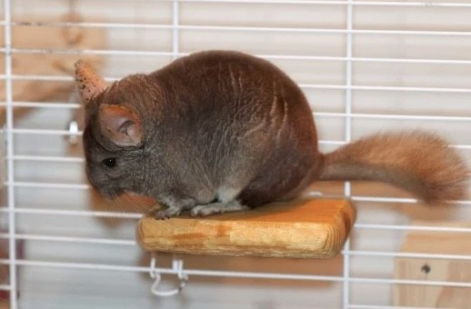 Easy Wooden DIY Chinchilla Ledge Plans from Pet Helpful