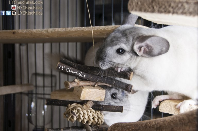 Hanging Wood DIY Chinchilla Toys Plans from LY Chinchillas