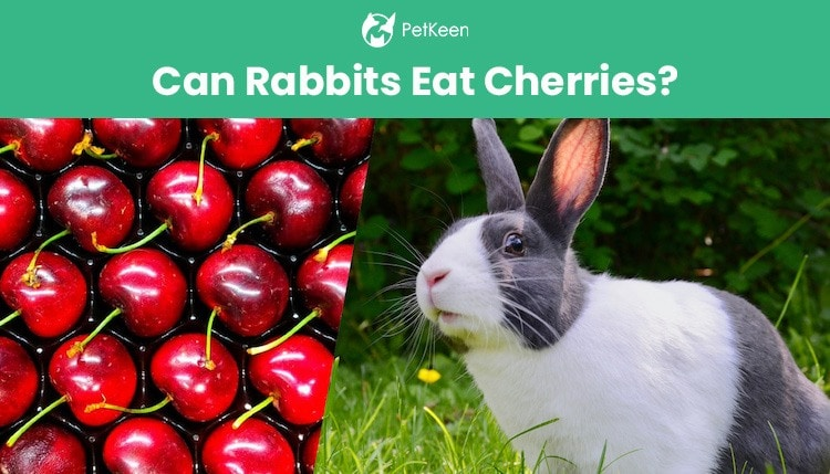 can rabbits eat cherries?
