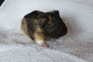 guinea-pig-baby-animal-rodent-pet