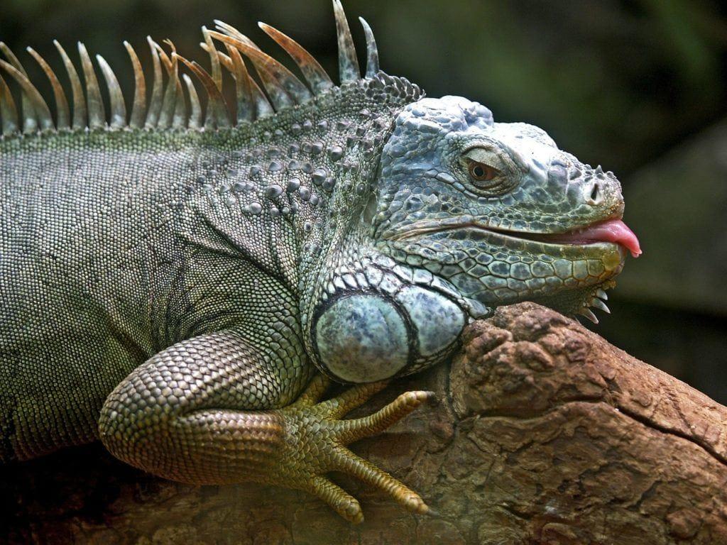 iguana_Pixabay