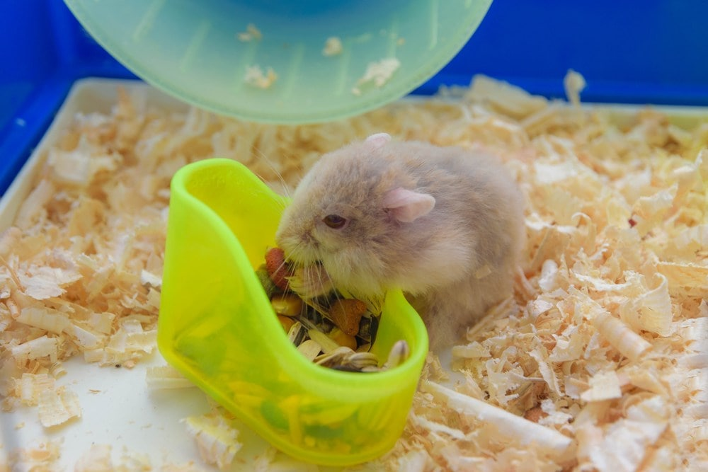 hamster eating food in cage