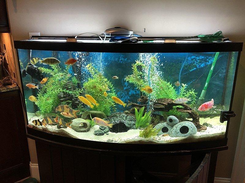 African Cichlid Fish Tank