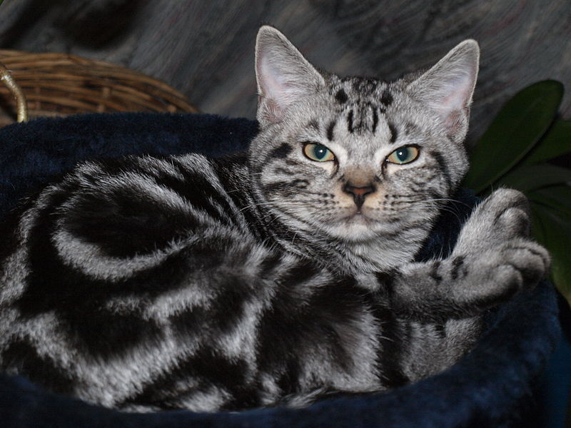 American Shorthair blotched