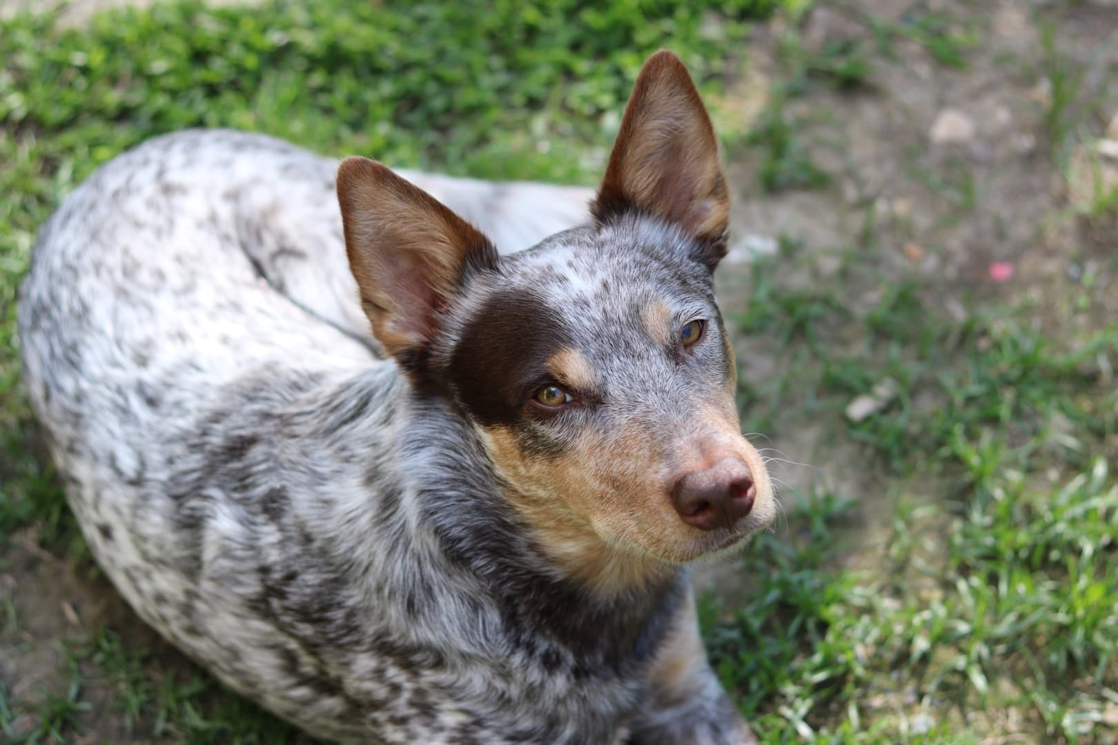 Australian Cattle Dog Merle Choco