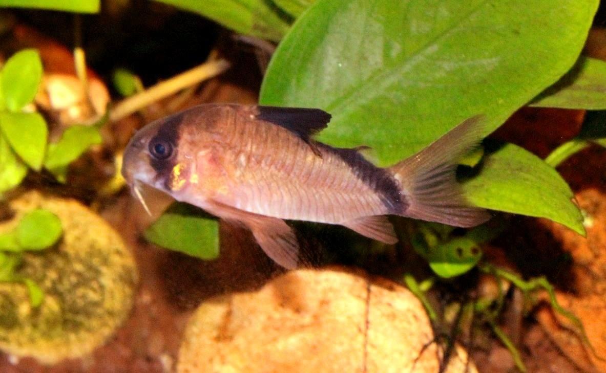 Bandit Cory Catfish