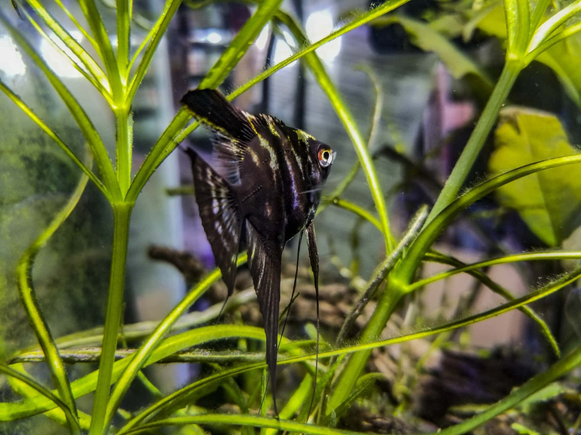 Black Lace Angelfish