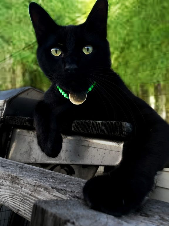 Black Rescue Cat