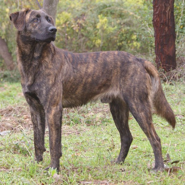 Brindle Corsinu - Corsican dog