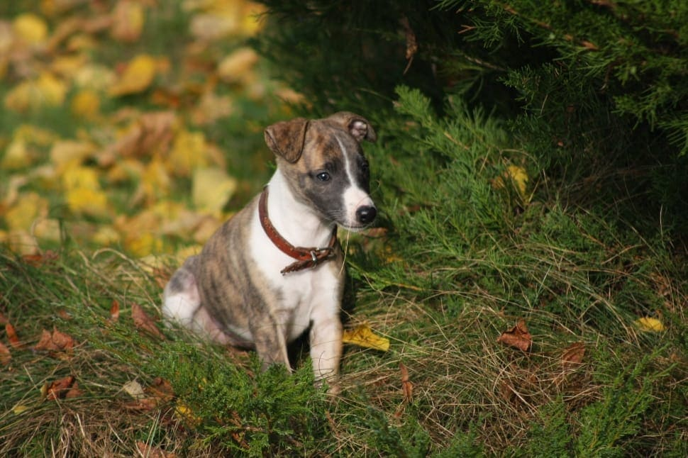 Brindle Jack Russell Terrier Puppy