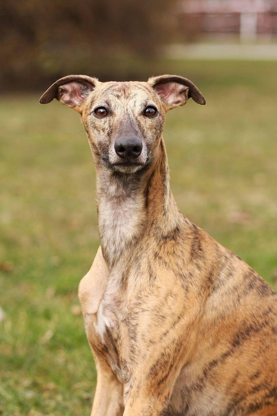 Brindle Whippet