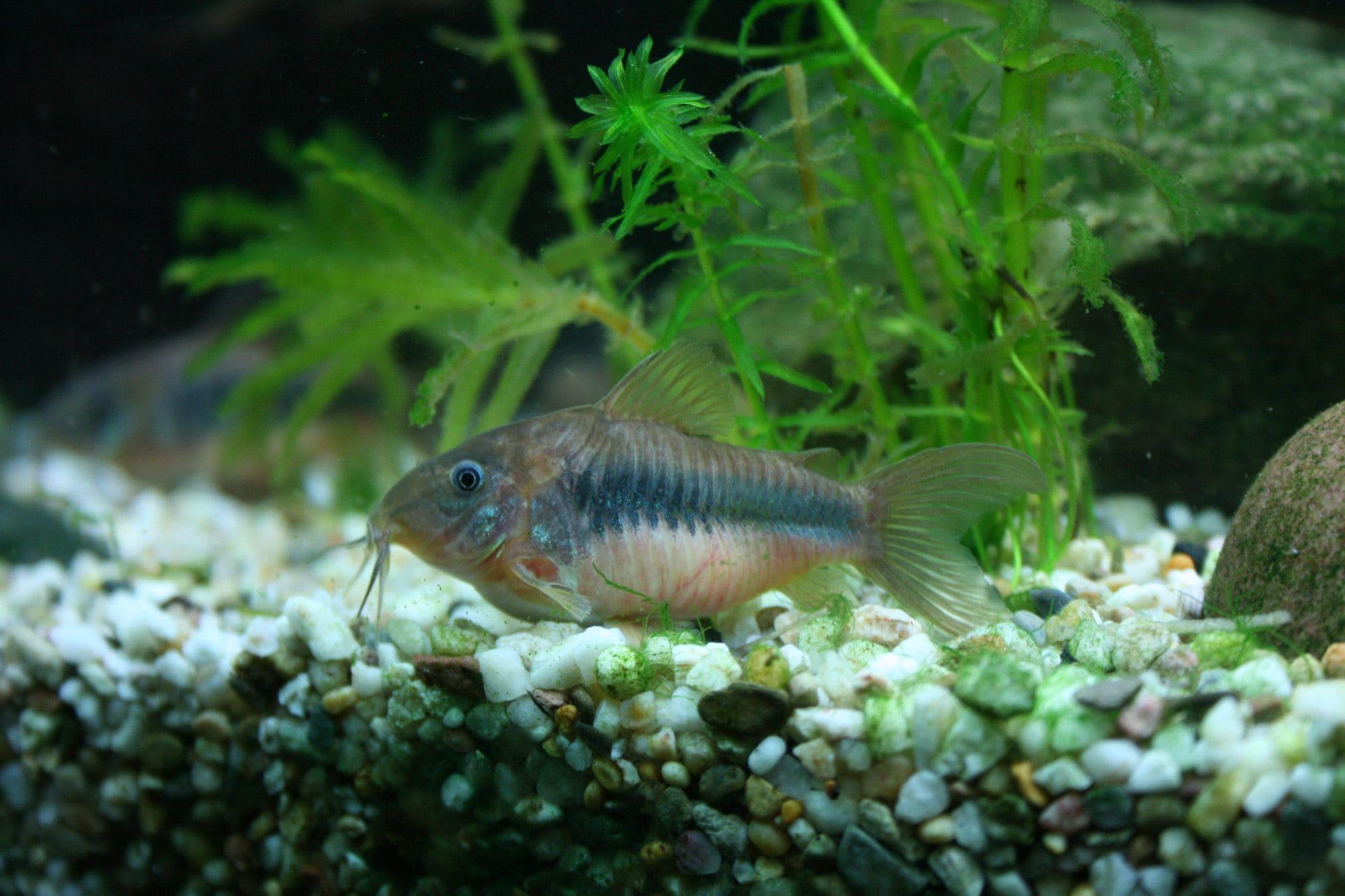 Bronze Catfish