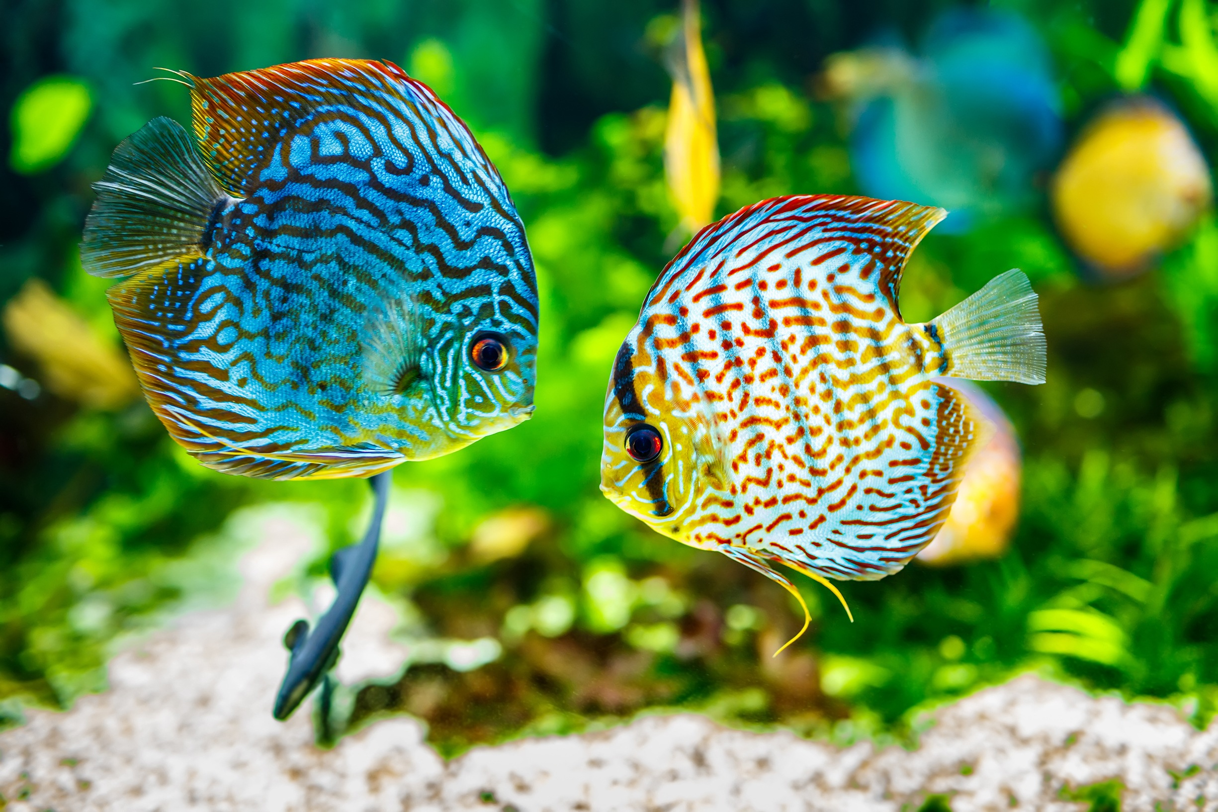 colourful fish in tank