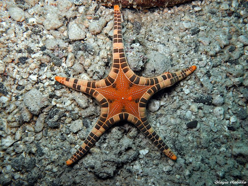 Double Star Starfish