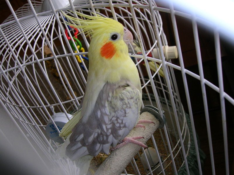 Female Pearly Pied Cockatiel