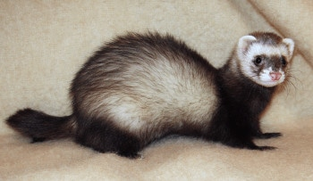 Ferret on Bed