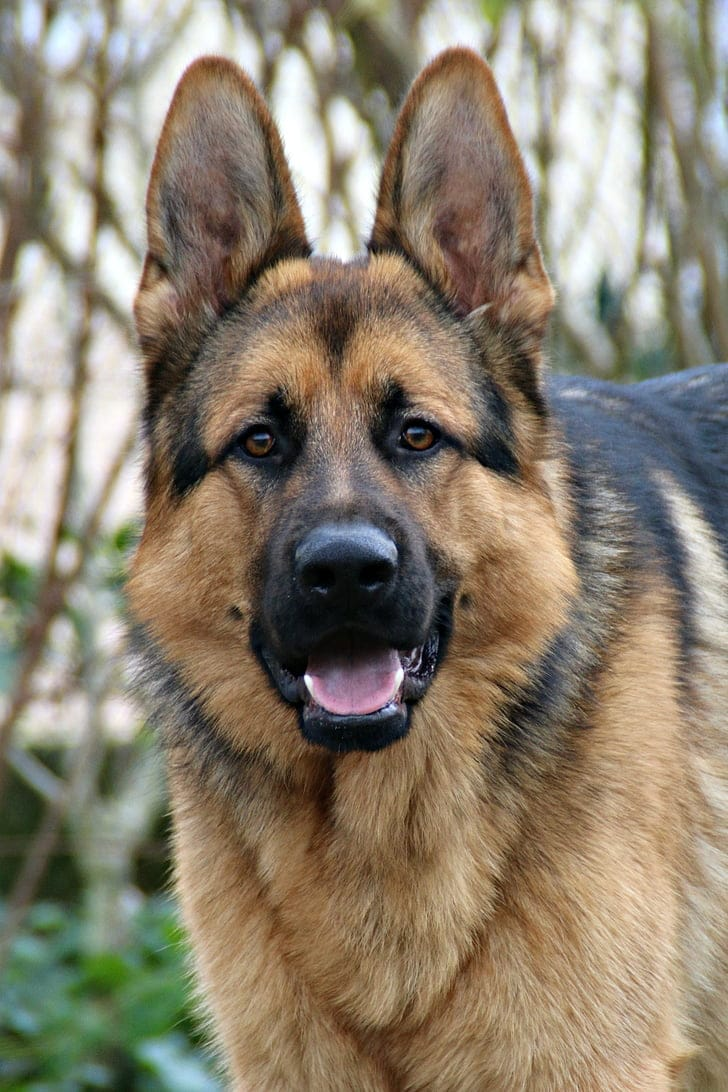 German Shepherd close up