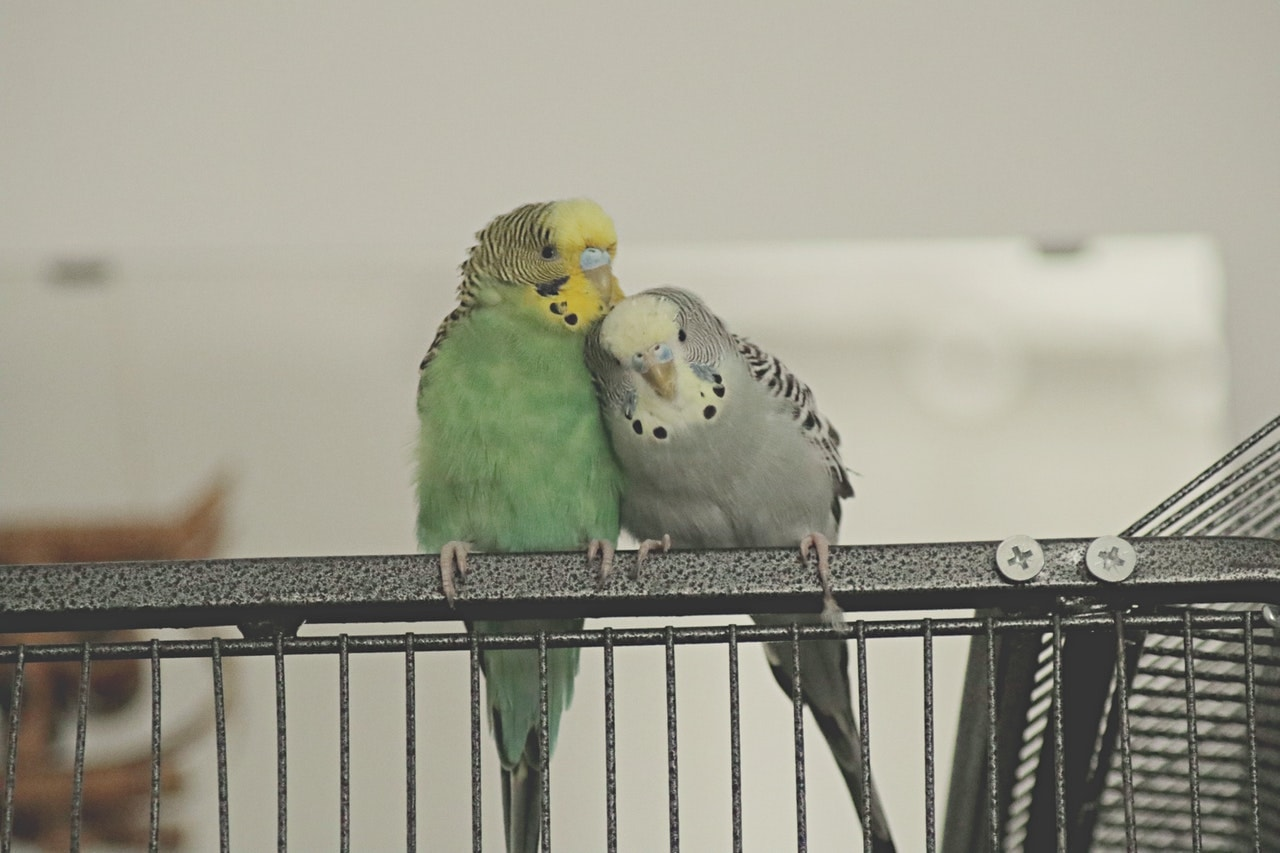 Gray Budgie and Green Budgie