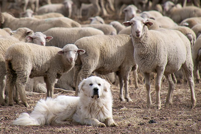 Great Pyrenees Herding