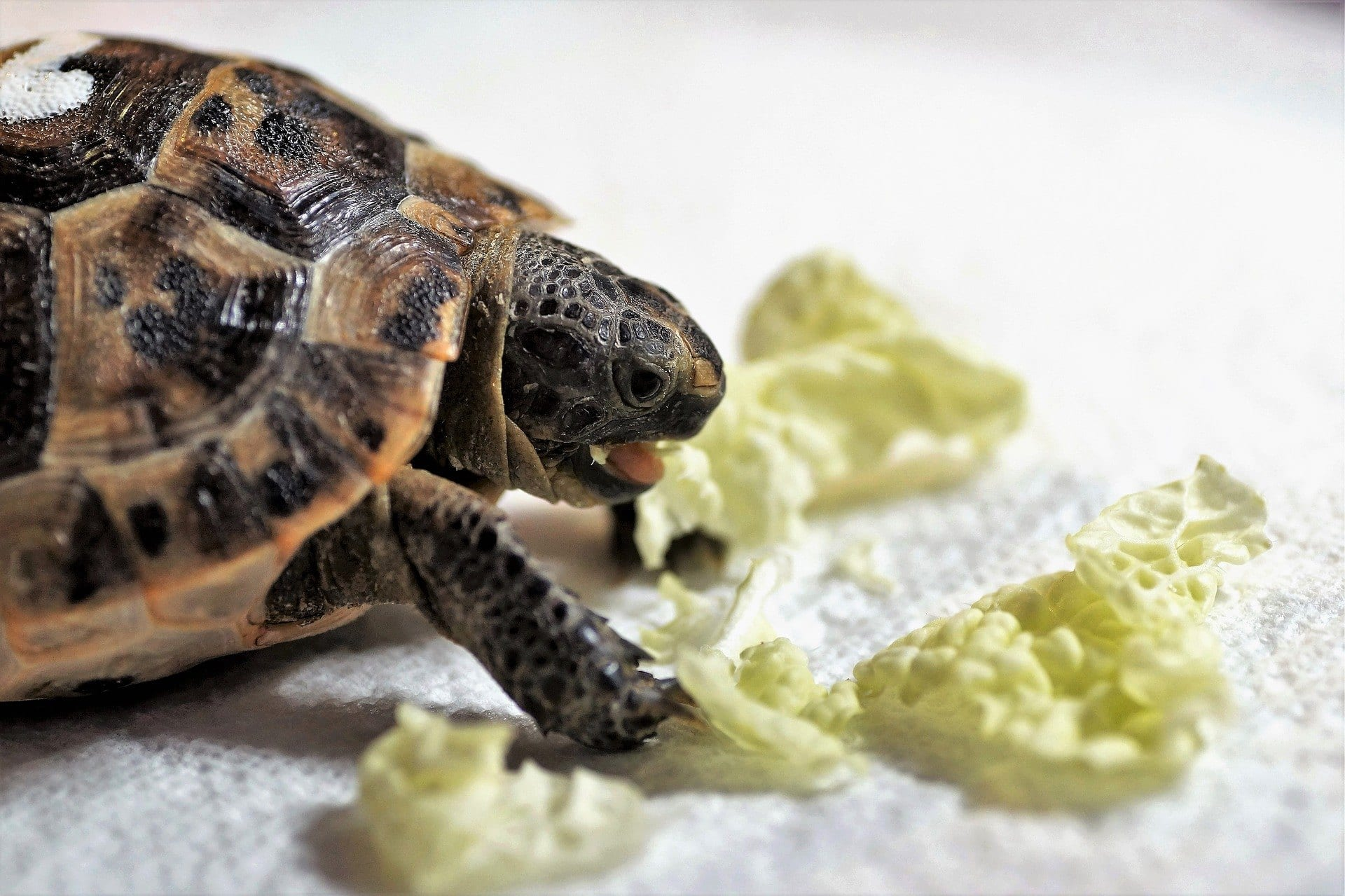 turtle and lettuce