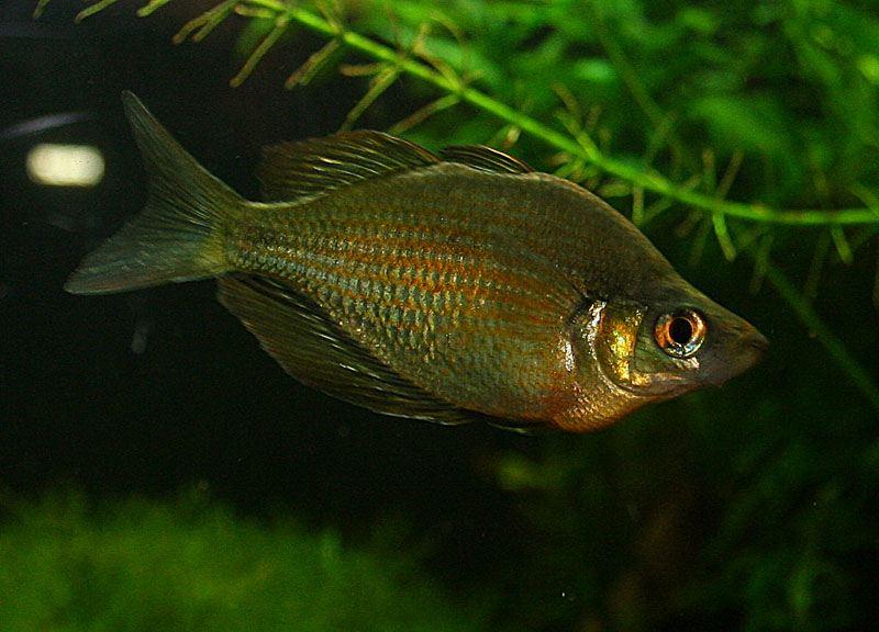 Lake Wanam Rainbow Fish