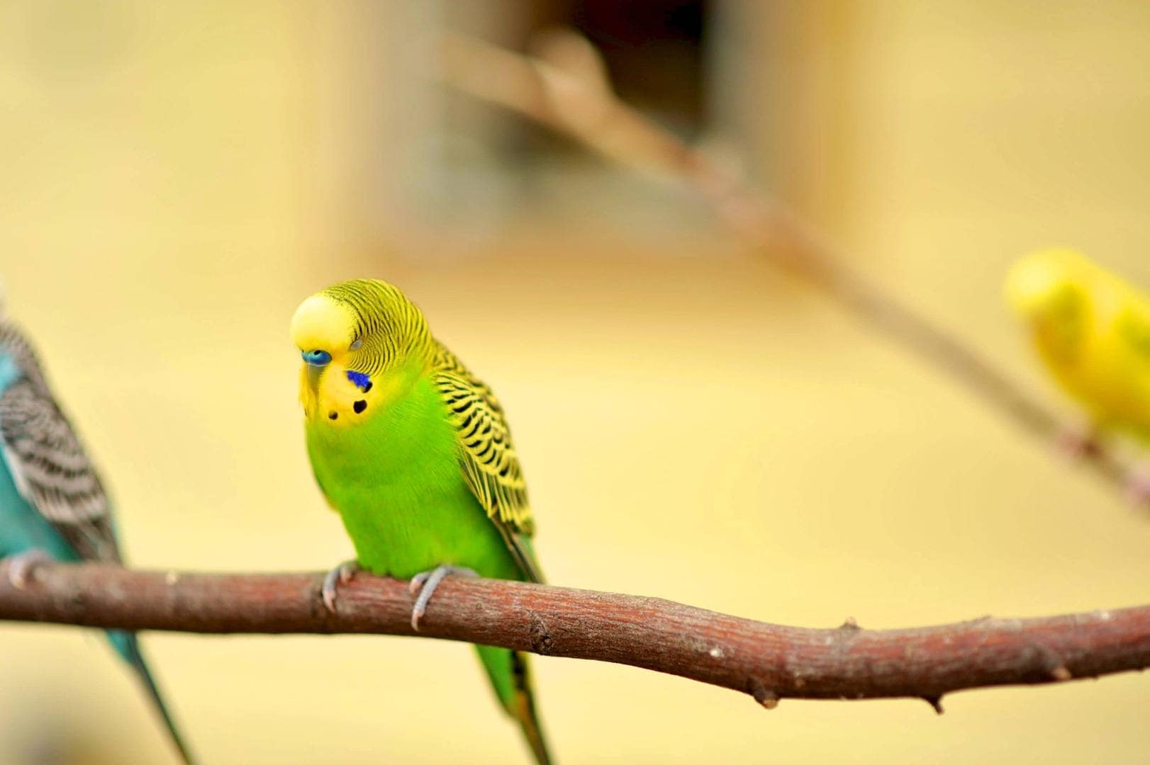 Light Green Budgie
