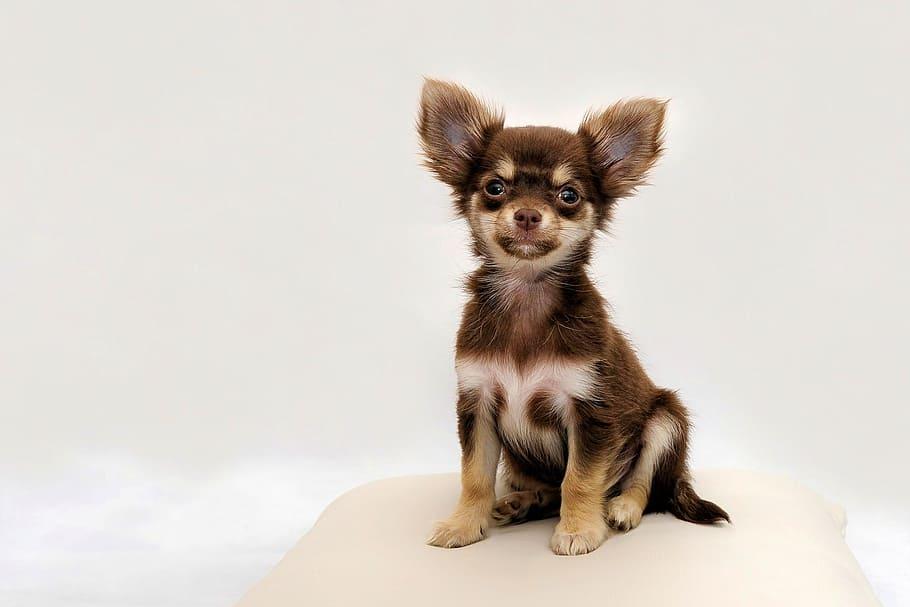 Long coated Chihuahua