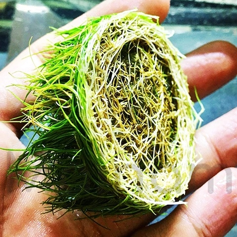 Mainam Dwarf Hairgrass