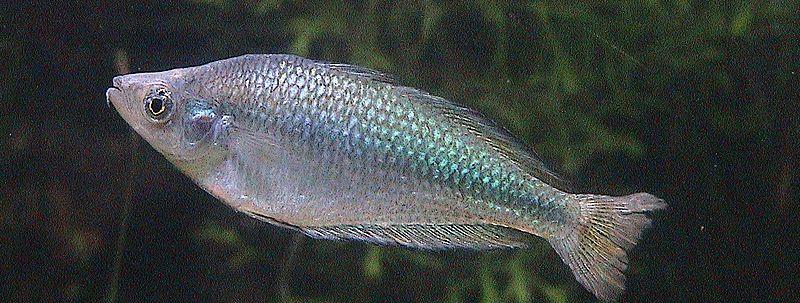 Murry River Rainbow Fish