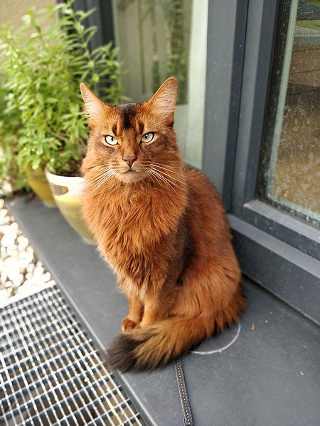 Orange Somali Cat