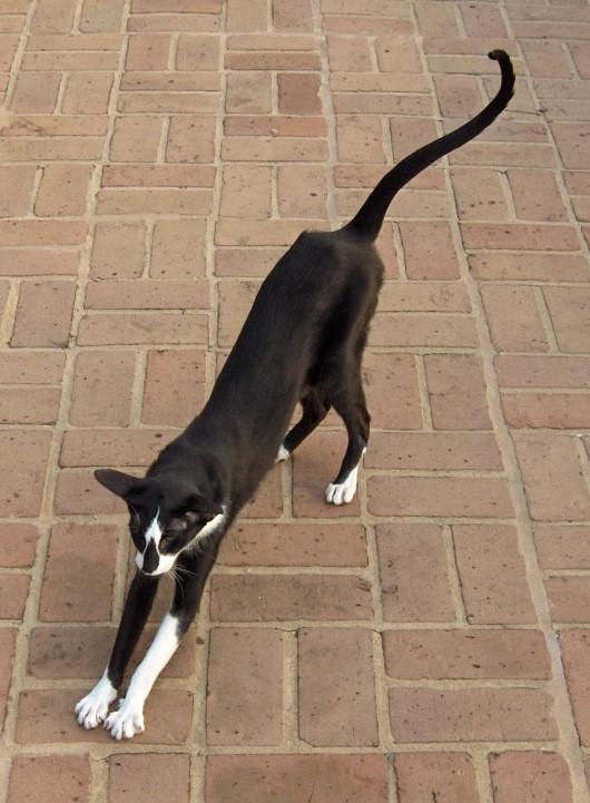 Oriental Cat Black