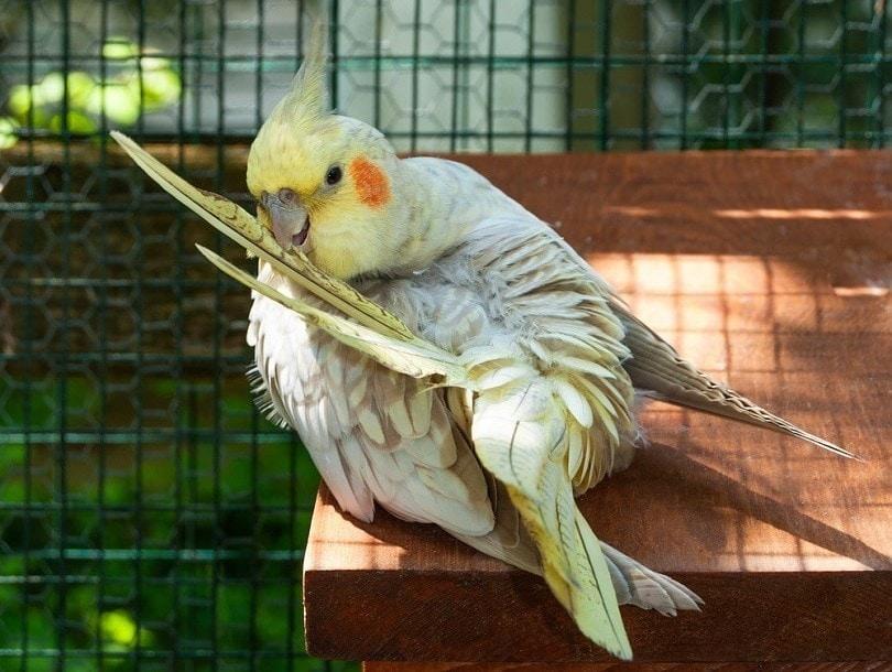 Pearl Cockatiel preening