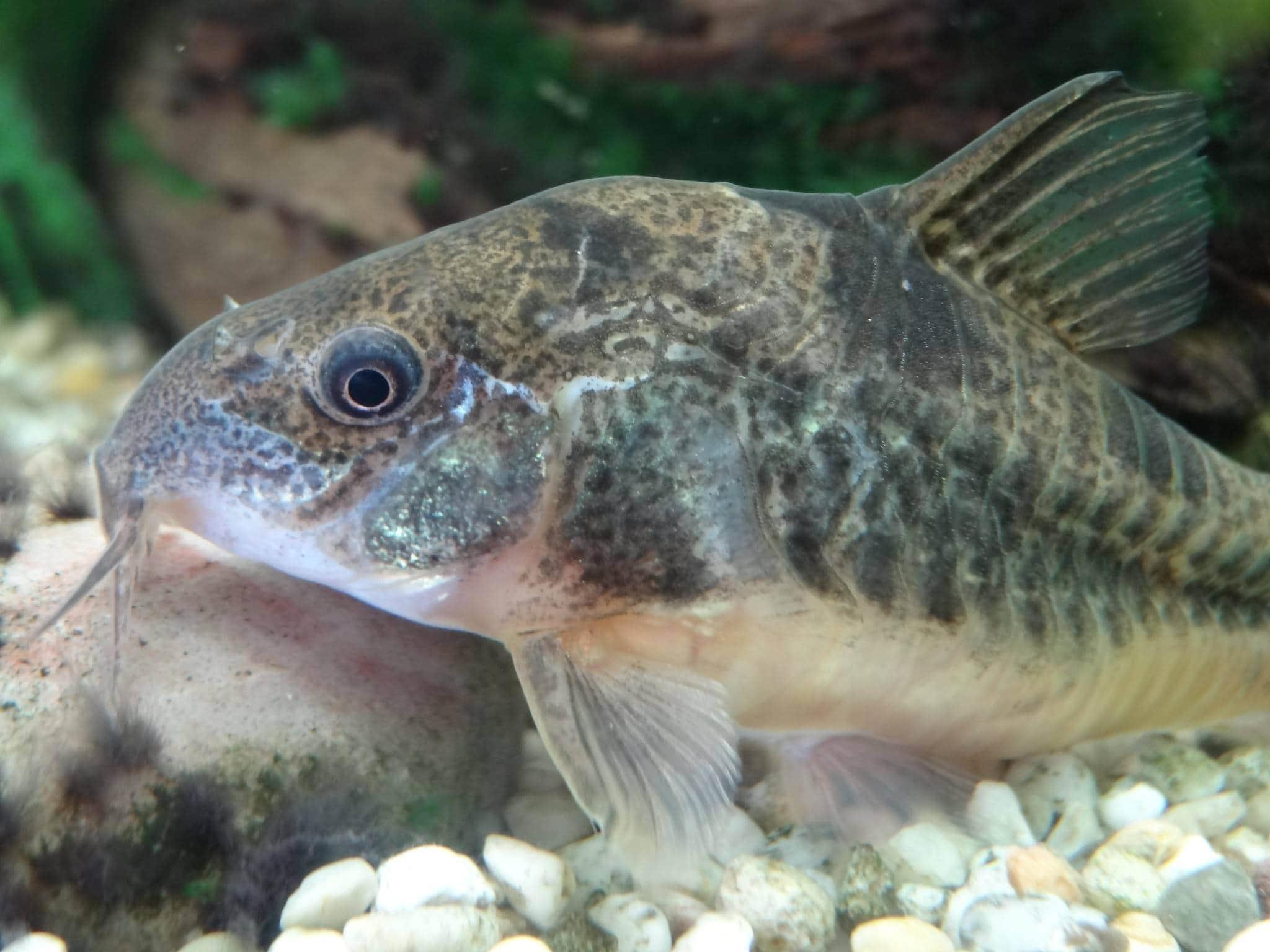 Peppered cory catfish
