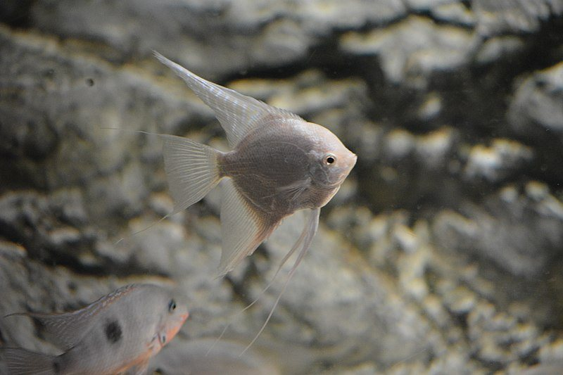 Platinum Angelfish