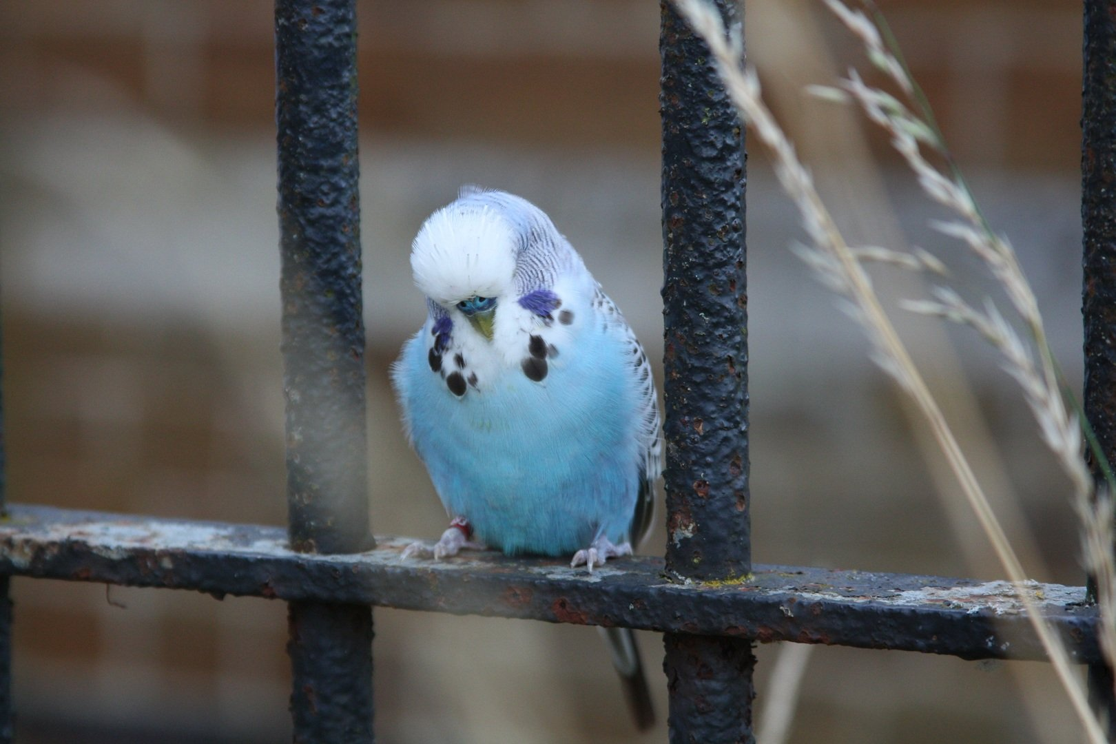 Sky Blue Budgie sleeping