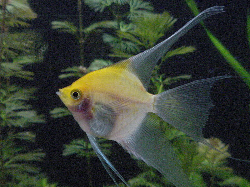 Sunset Blushing Angelfish