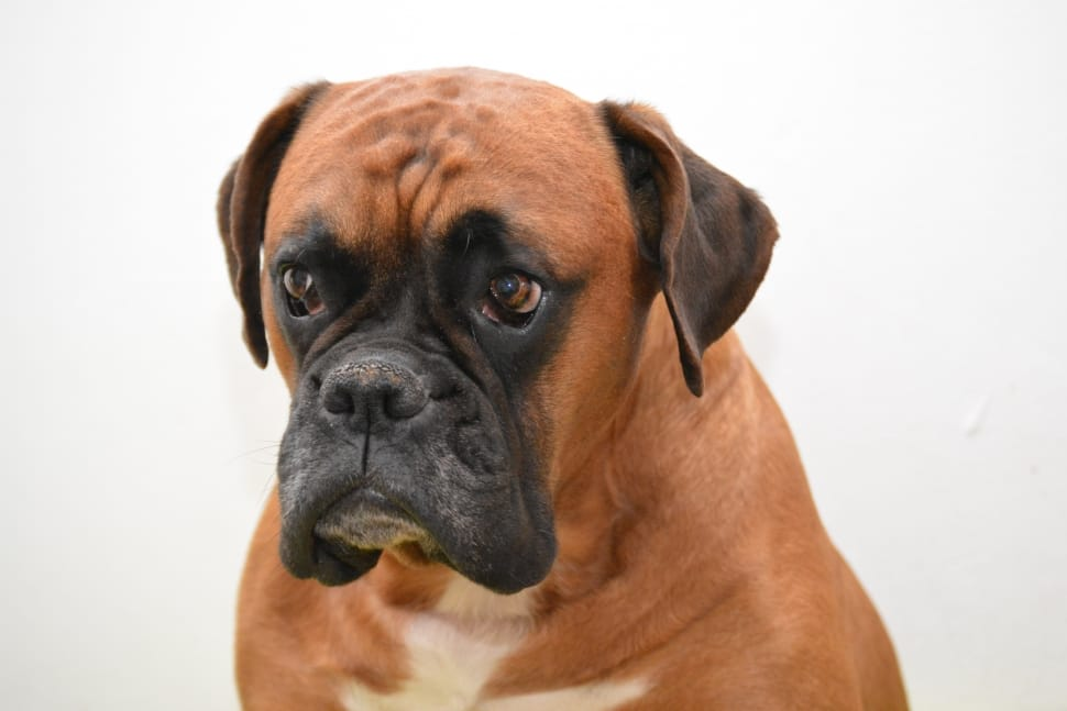 Tan Boxer dog