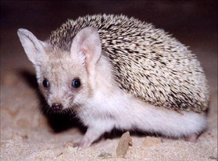 The Egyptian Long Eared Hedgehog