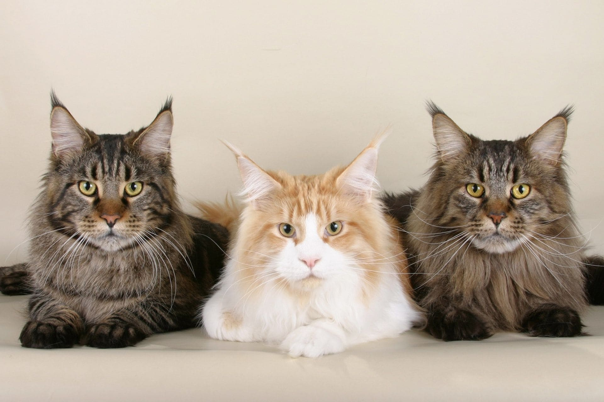 Three Maine Coons