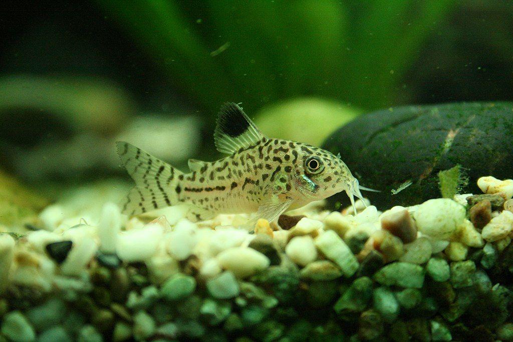 Three Stripe Cory Catfish
