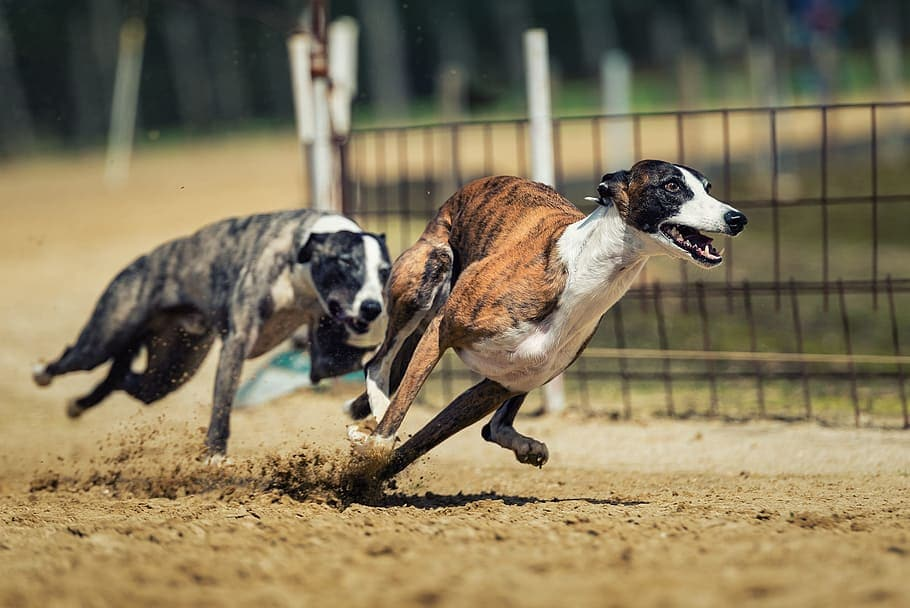 Two Brindle Greyhounds running