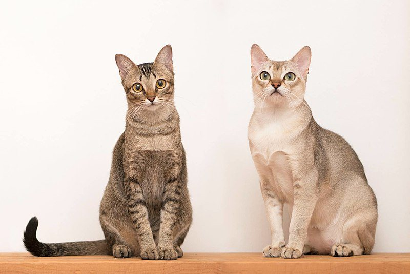 Two Singapura Cats