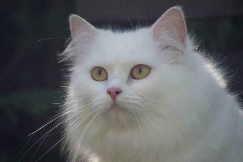 White British Longhair