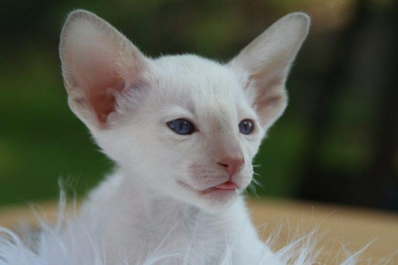 White Oriental Shorthair Kitten