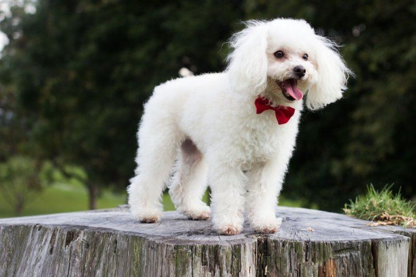 White Poodle_Pixabay
