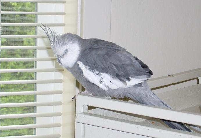 Whiteface Cockatiel sleeping