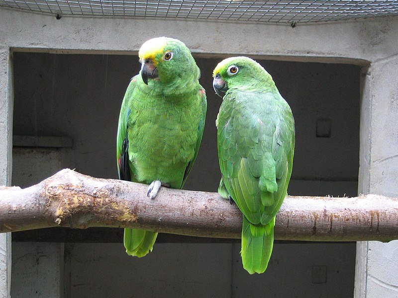 Yellow-Crowned Amazon Parrot