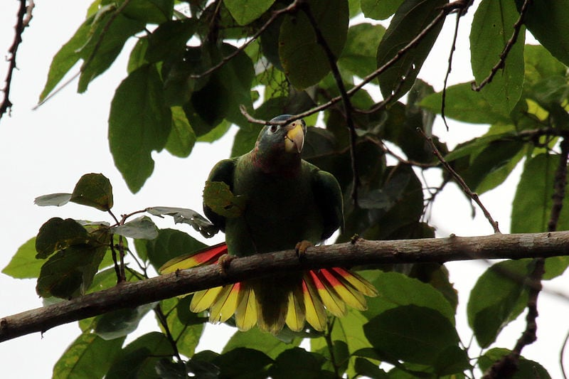 Yellow-billed Amazon Parrot