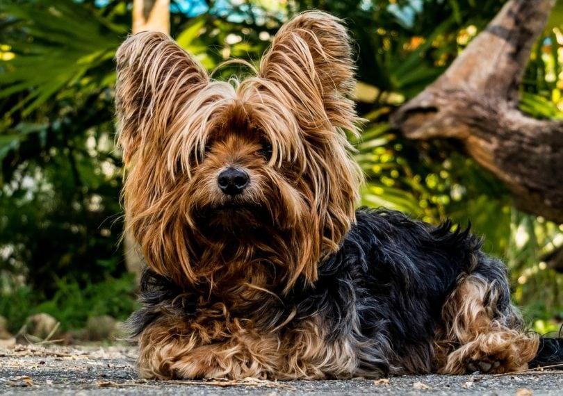 Yorkshire Terrier_Pixabay